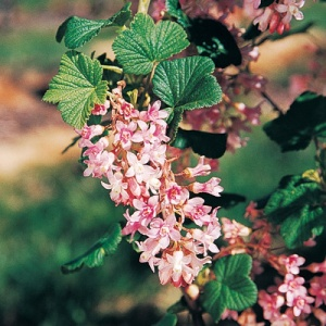 Flowering Currants