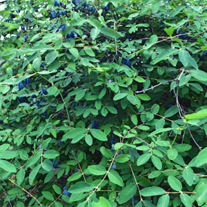 Blue Pacific Honeyberry ™ – Late Blooming