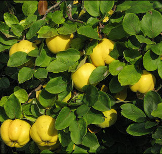 Quince, Fruiting