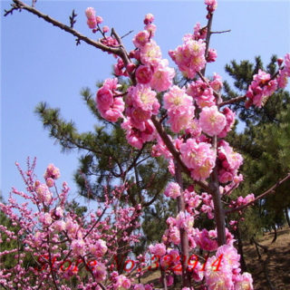 Japanese Flowering Plum