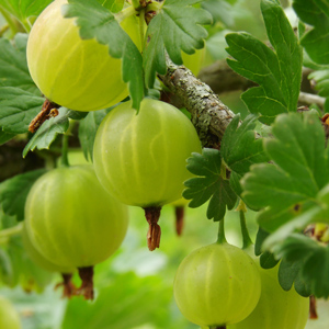 Invicta White Gooseberry