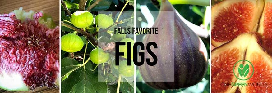 Fig Growing Guide