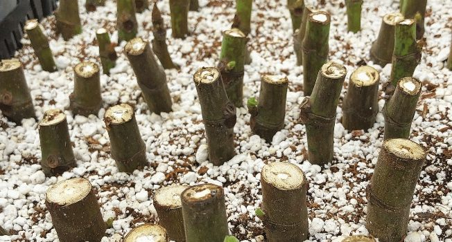 Rooting Dormant Hardwood Fig Cuttings