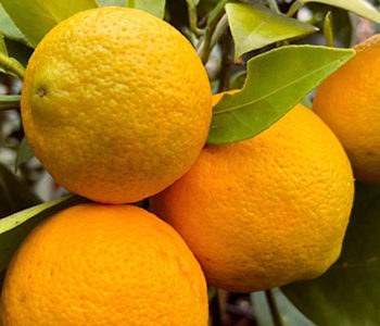 8 Tips for Growing Citrus