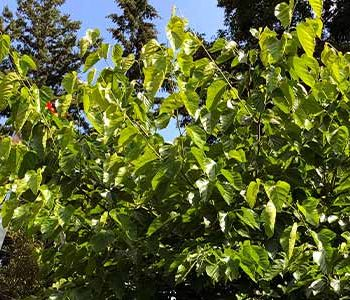 Summer Care Checklist for Fruit Trees