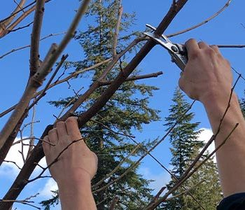 Winter Pruning Guide for Fruit Trees